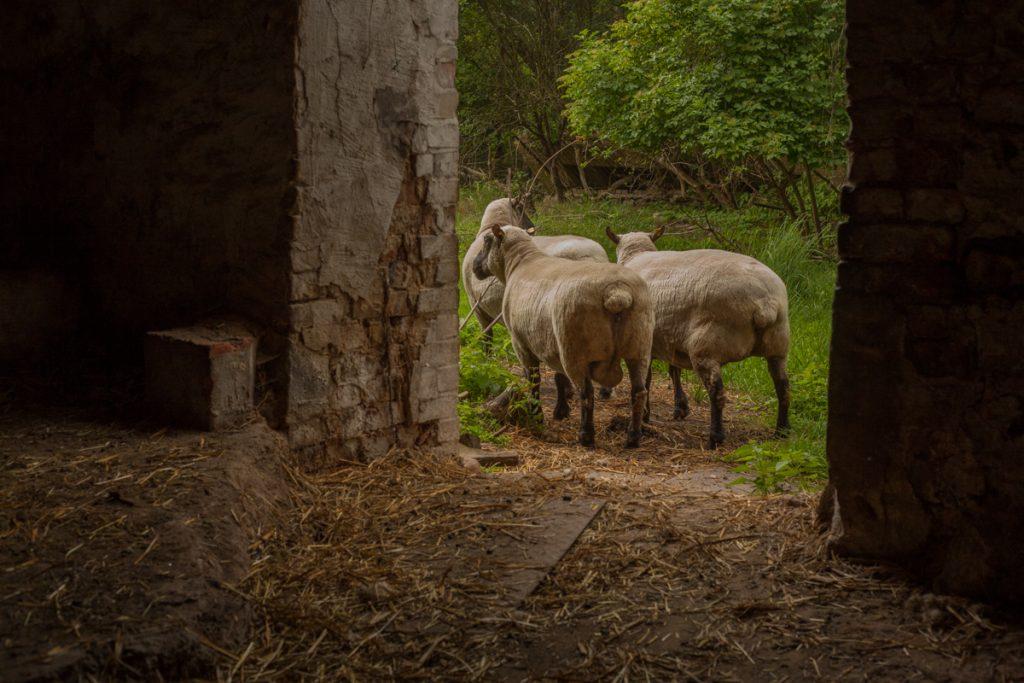 """lena loose"", lena maria loose fotografie photography schafe country village dorf stall"